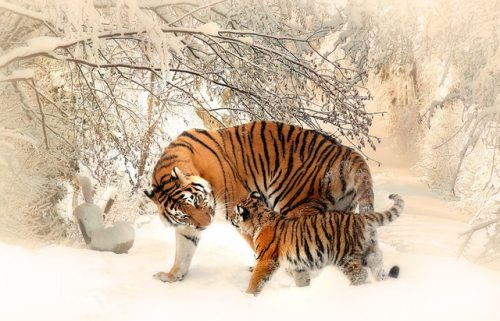 tiger-tiger-baby-tigerfamile-young-39629