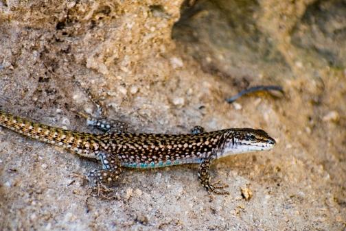 Closeup of a big lizard.