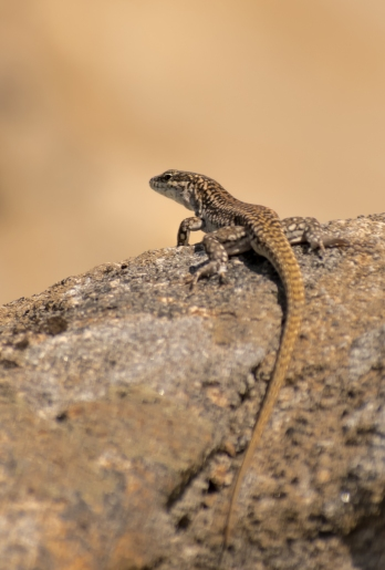 Lizard on the beach